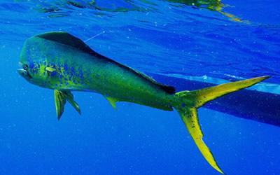 Mahi-Mahi (Dolphin Fish)