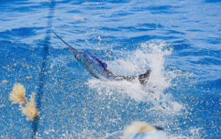 Sailfish Tournament
