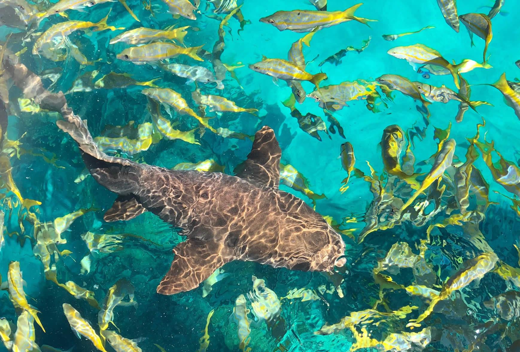 Nurse Shark on Reef