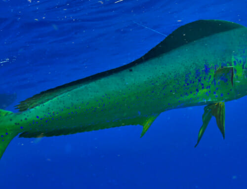 All About The Florida Keys Dolphinfish – Facts about  Mahi-Mahi