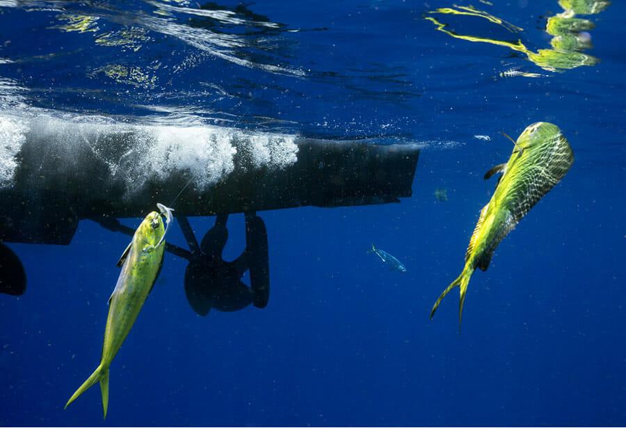 Key Colony Beach Dolphinfish