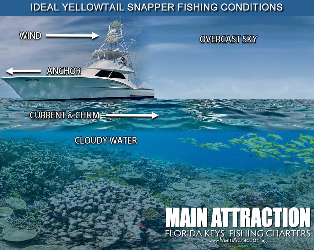 Yellowtail Snapper Conditions